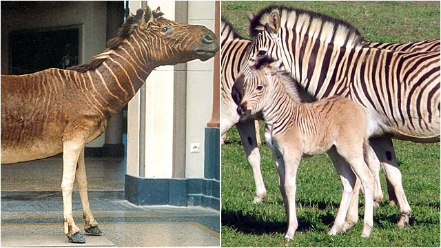 PHOTO:&nbsp;The quagga, a South African zebra with stripes on the front half of its body.