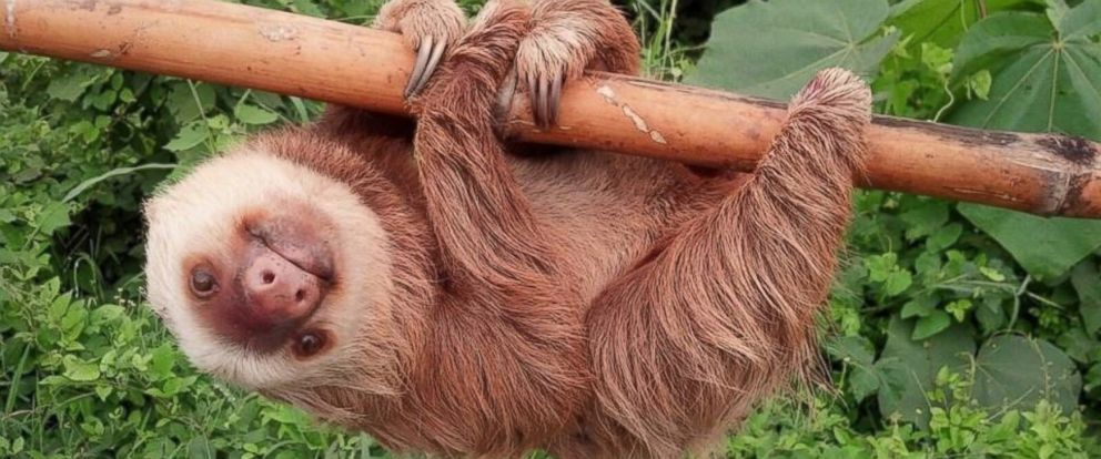 PHOTO: The sloth rescued from a busy road in Ecuador is pictured after it was returned to its habitat in Los Rios, Ecuador, Jan. 22, 2016.