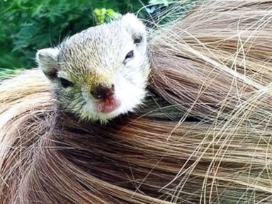 Abandoned Squirrel Lives in Girl's Ponytail