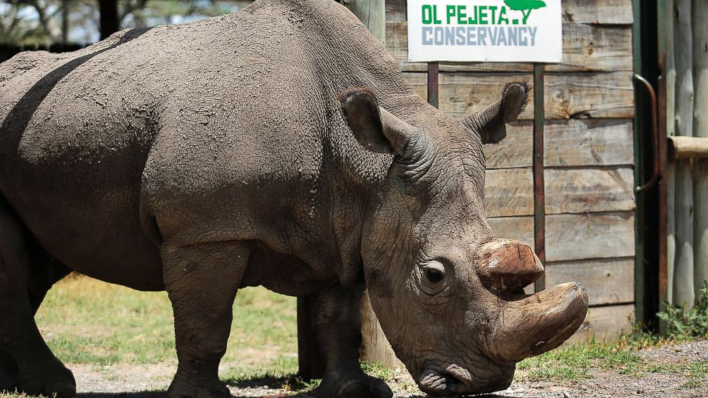 Last male white  rhino  dies after health complications, leaving only 2 animals alive