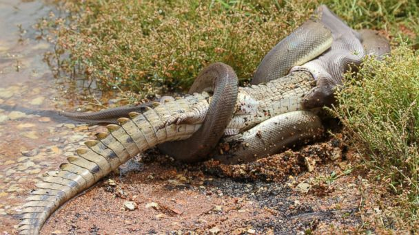 lv corcodile snake fight kb 140303 16x9 608 Photos Tell You Who Won Snake Vs Croc Battle