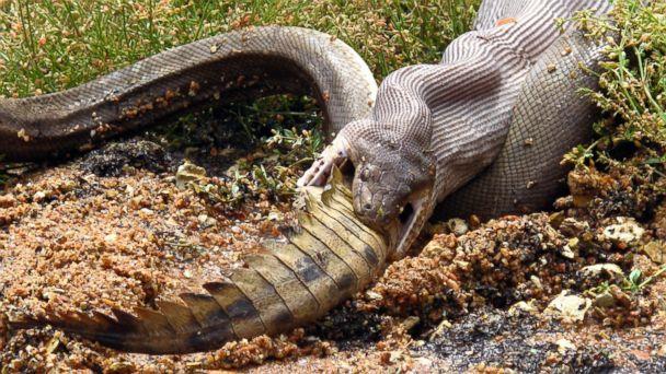 lv snake crocodile swallow kb 140303 16x9 608 Photos Tell You Who Won Snake Vs Croc Battle