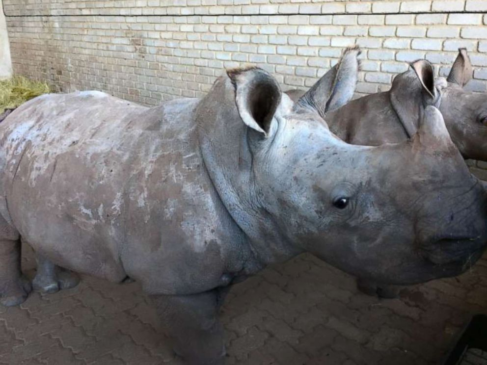 PHOTO: Poaching incidents are up by more than 8,000 percent across South Africa, from 13 cases in 2007 to nearly 1,100 in 2016. On average, three to five white rhinoceros are killed every day, leaving babies orphaned.