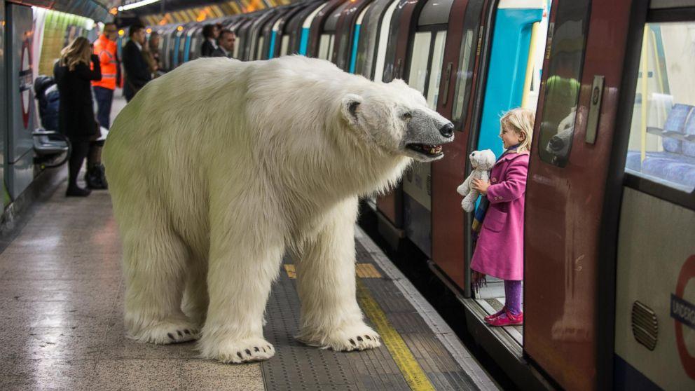 Unleashed Polar Bear Delights Residents Abc News