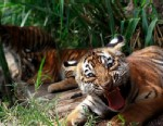 Two- months old Bengal tiger cub Tily reacts in its enclosure at the animal refuge La Fundacion Refugio Salvaje (Furesa) in La Libertad on the outskirts of San Salvador May 23, 2013. The refuges takes care of animals in danger of extinction.