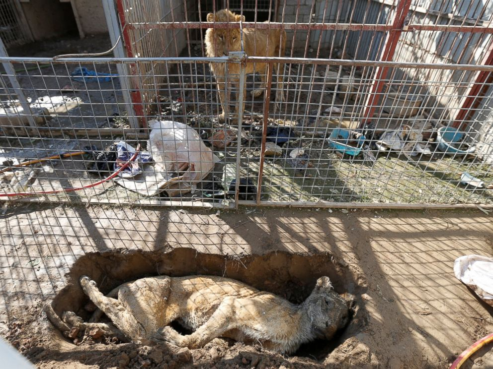 PHOTO: A lion in its cage looks at a dead lioness in a grave at Mosuls zoo, Iraq, Feb. 2, 2017.