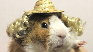 Guinea Pigs With A Passion For Fashion