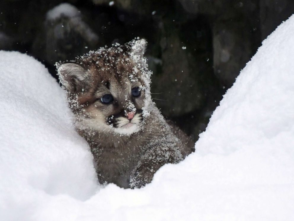PHOTO: A newborn lynx kitten peers into the snow at the Novosibirsk Zoo in Siberia, Russia, Jan. 16, 2018.