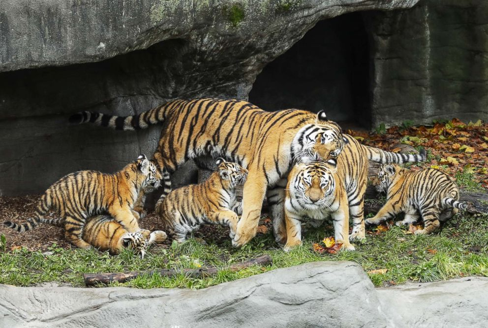 PHOTO: Tiger cubs play with their father at the Hagenbeck Zoo in Hamburg, Germany, Oct. 26, 2017.