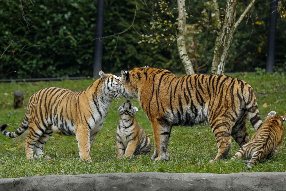 PHOTO: Marushka and Yasha nuzzle up to each other at the Hagenbeck Zoo in Hamburg, Germany, Oct. 26, 2017.