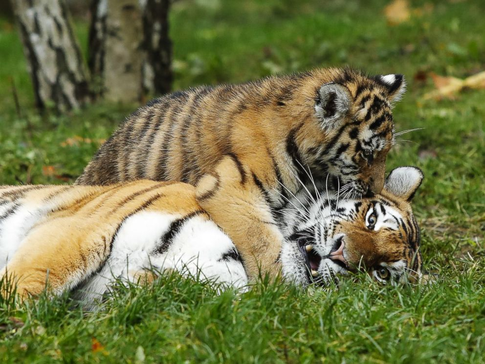 Tiger cubs play with their father at the Hagenbeck Zoo in Hamburg, Germany, Oct. 26, 2017.