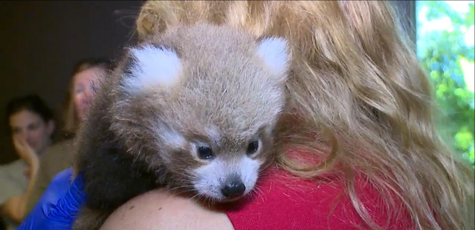 VIDEO: Red Panda Cubs Get Their Checkups at the Denver Zoo