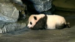 The Pairi Daiza Zoo in Belgium recently shared a video of an adorable baby panda taking his first steps.