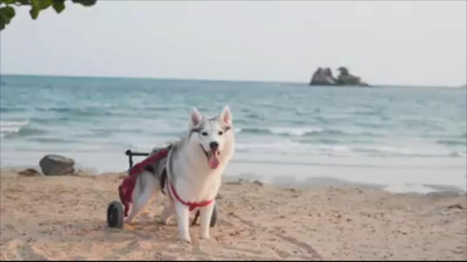 Maya, a 3-year-old Siberian husky, was born without paws thanks to a genetic disorder. Still, thanks to a new wheelchair and his owner Kitiya Boonyung, Maya has a second chance.