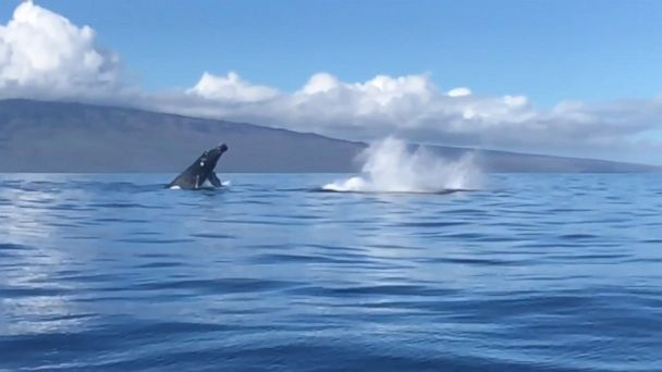 Incredible sight caught on camera as two whales breach the surface of the ocean in Maui.