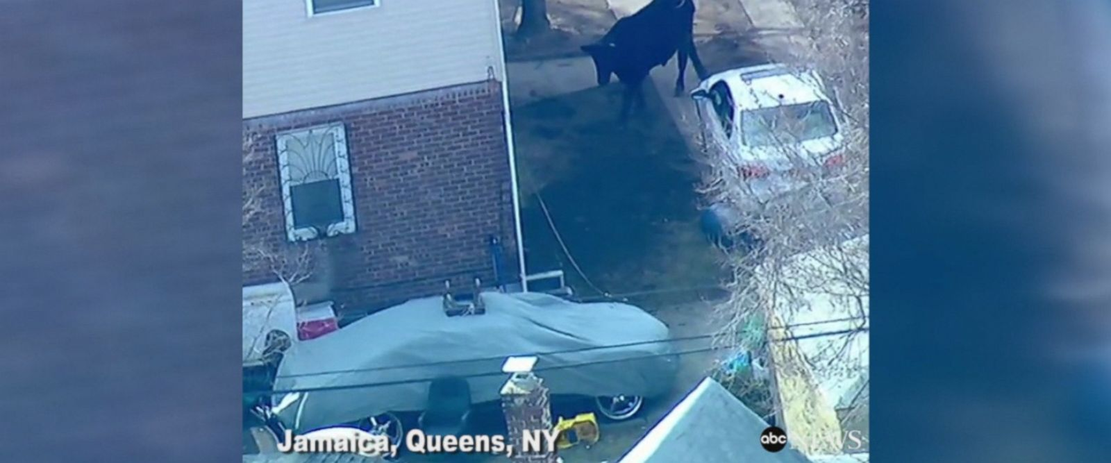 Police chased a runaway cow who was milking his 15 seconds of fame in Jamaica, Queens, New York.