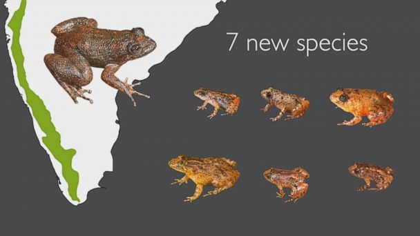 The newly discovered frogs can are the size of a fingernail and are among the smallest known frogs in the world.
