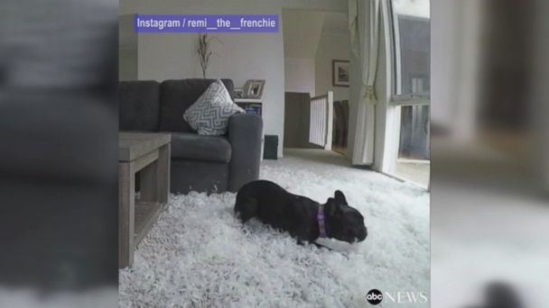 French Bulldog tears up living room when his mom leaves him alone to go out to breakfast.