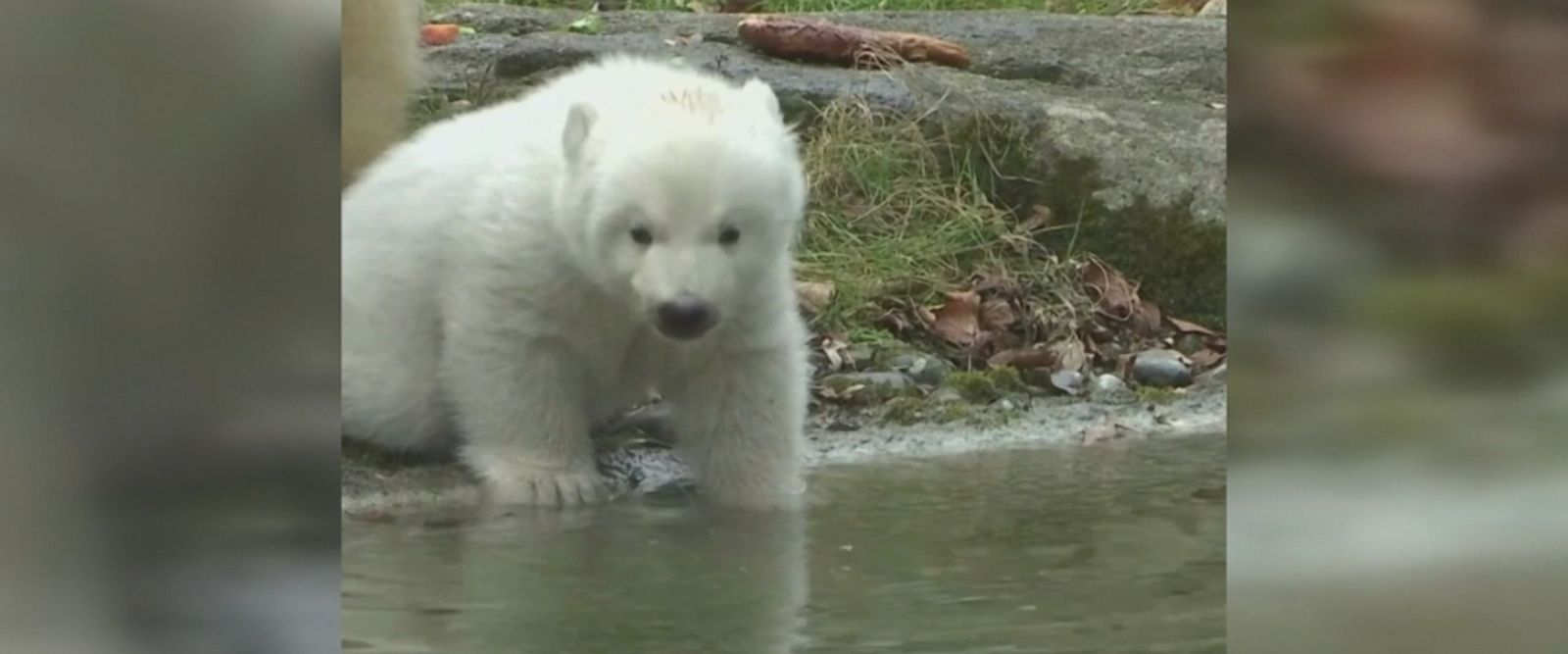 14-week old polar bear born at an animal park in Germany makes her first trip outside under the watchful eye of her mom.