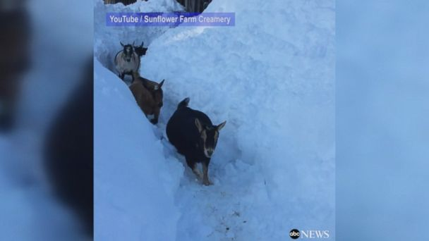THIRSTY WORK: After trudging through heavy New England snowfall with his fellow goats, one tricky goat stole its owner's coffee and slurped it down.