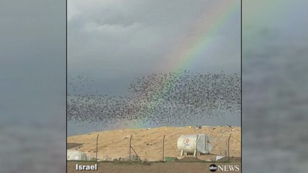 Watch starlings fly in incredible formation in southern Israel, where they spend their winter.