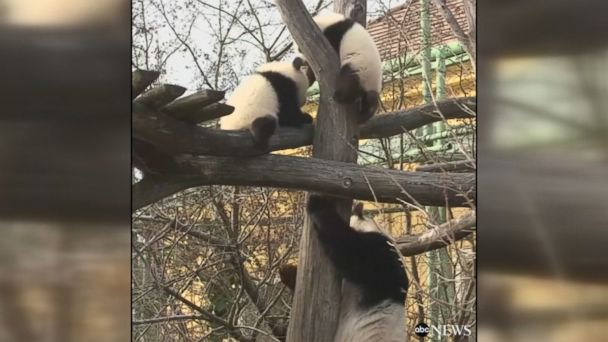 Seven-month-old panda twins venture out for the first time under the watchful eye of their mother at the Zoo Vienna Schönbrunn.