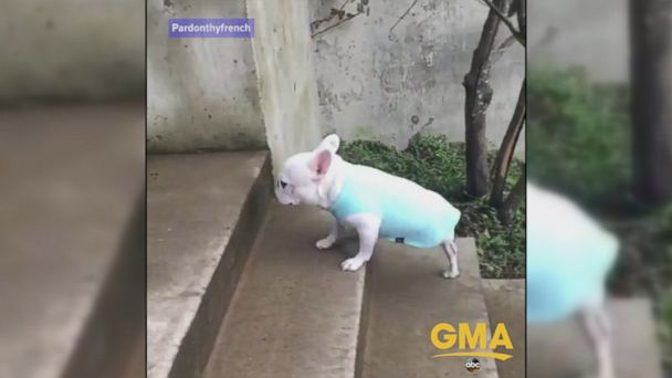 Inspiring three-legged French Bulldog who survived cancer is living life to the fullest, racing up a flight of stairs with ease.