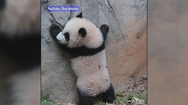 VIDEO: Twin baby giant pandas get their first taste of the outdoors at Zoo Atlanta. They are currently the only giant panda twins in the United States.