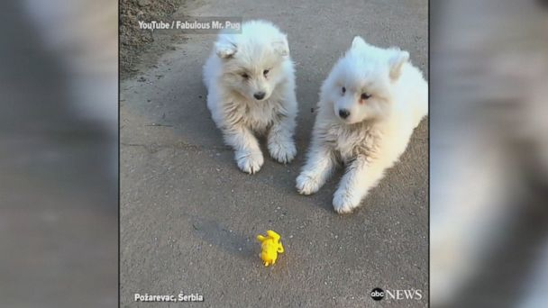 Eight-week-old Samoyed puppies were confronted by a wind-up toy frog while out and about in Požarevac, Serbia. They eventually found the courage to take action against their