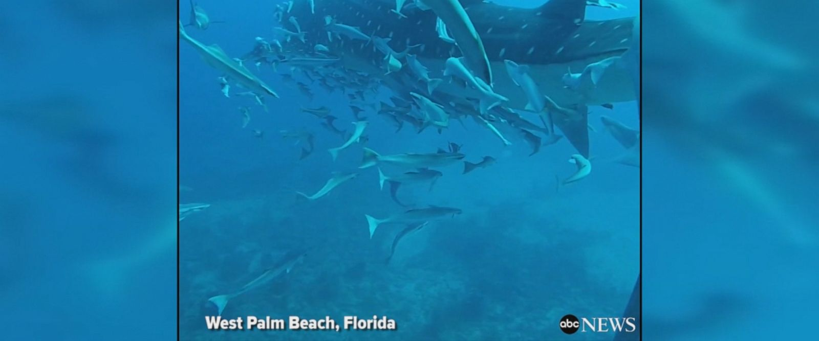 Mesmerizing video shows massive whale shark, the largest species of fish known to man, gliding past divers off of West Palm Beach, Florida.