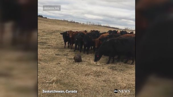 Beaver leads a herd of 150 cattle around a field in Saskatchewan, Canada.