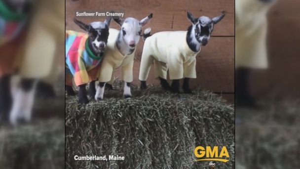 VIDEO: Baby goats at a dairy farm in Maine were dressed up in pajamas for a