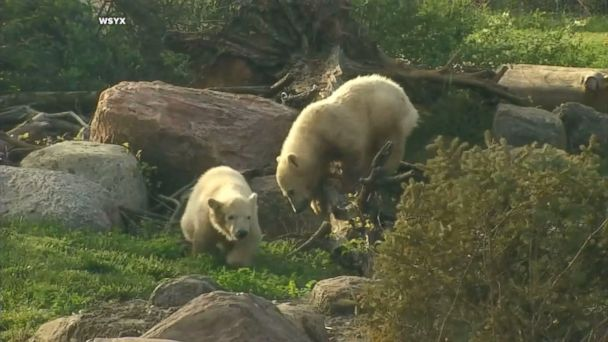 Aurora the polar bear mom was filmed swimming with her male and female cubs.