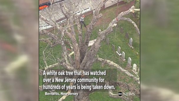 A 600-year-old, 100-foot-tall white oak tree was removed in a New Jersey town on Monday.