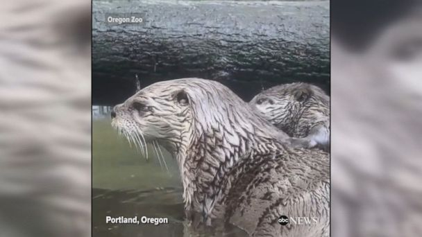 Otter mom Tilly teaches her pup Tucker how to swim at the Oregon Zoo.