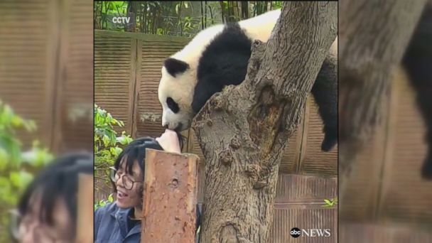 VIDEO: A mischievous panda at the Chengdu Research Base of Giant Panda Breeding in China bit the hair of someone who wanted to take a selfie with him.