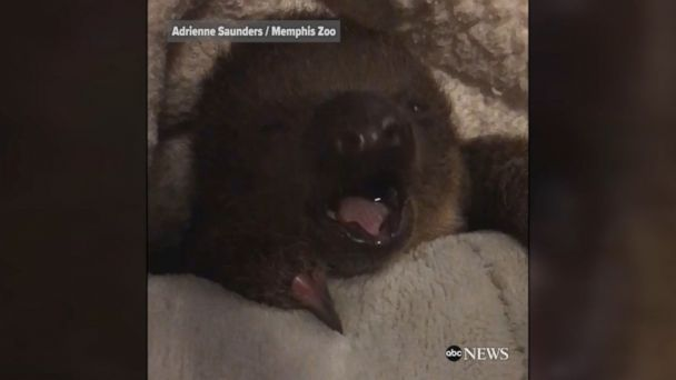A baby two-toed sloth named Lua was recently born at the Memphis Zoo.