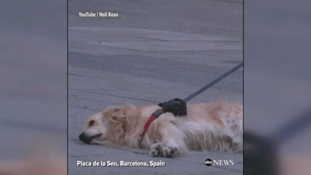 A willful dog stopped and listened to a street performer in Barcelona, Spain, refusing to leave with his owner until the music stopped.