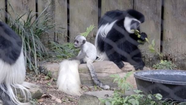 VIDEO: Visitors to the New Orleans Audubon zoo will now be able to see rare baby colobus monkey. The one-month-old monkey is part of a threatened species.