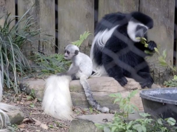 WATCH:  Rare baby monkey makes debut at New Orleans zoo