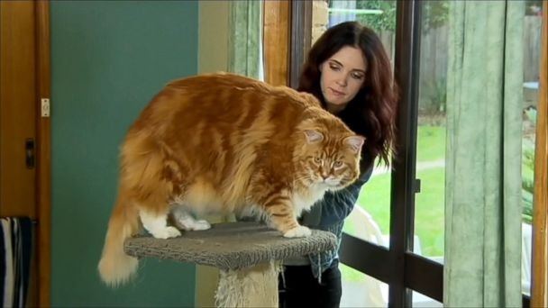 VIDEO: Omar, who is competing for the Guinness World Record, has four paws to match every foot of his impressive size.