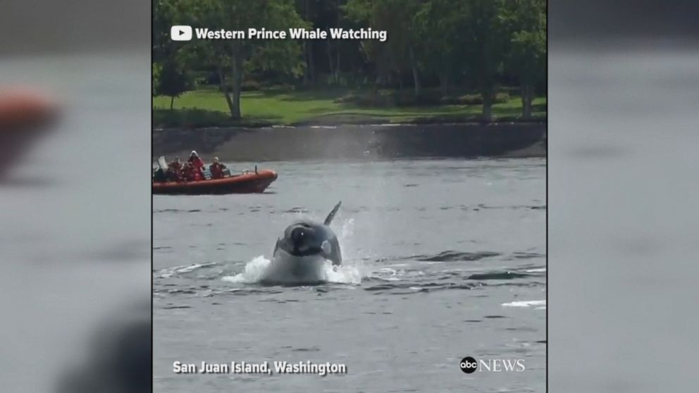 Killer whale teaches her baby how to hunt as the two pursue a sea lion in Washington state.
