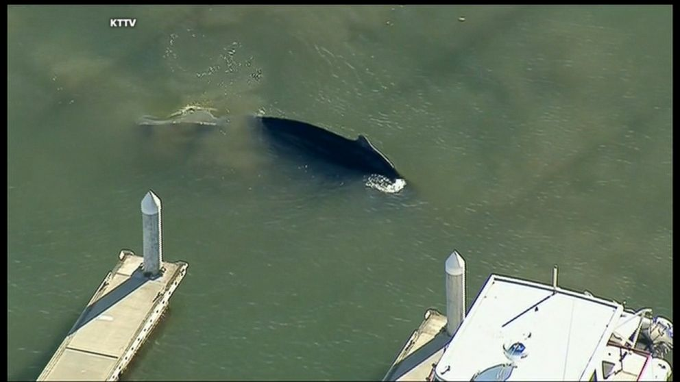 A humpback whale was spotted in the Ventura, California, Harbor Saturday afternoon.