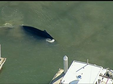 WATCH:  Whale trapped in California harbor