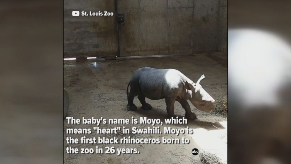 Endangered species: Baby black rhinoceros named Moyo, which means