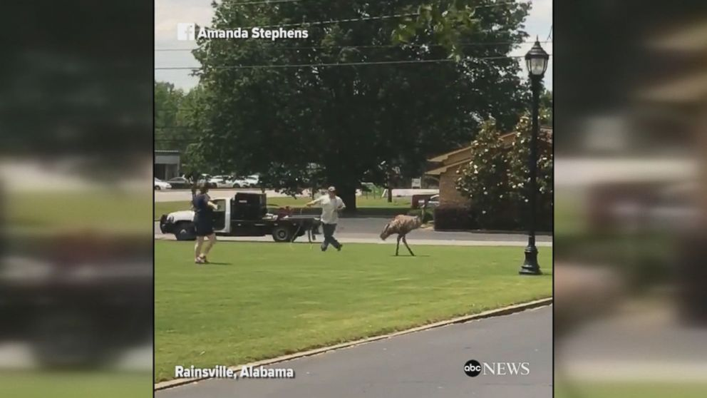 Video shows the moment authorities try to capture an emu blocking traffic in Alabama. The bird was able to evade capture and its whereabouts are unknown.