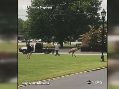 WATCH:  Emu on the loose causes havoc in Alabama