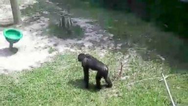 Bonobo throws concrete block toward family at Florida zoo