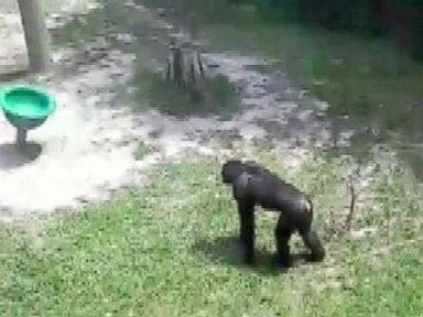WATCH:  Bonobo throws concrete block toward family at zoo