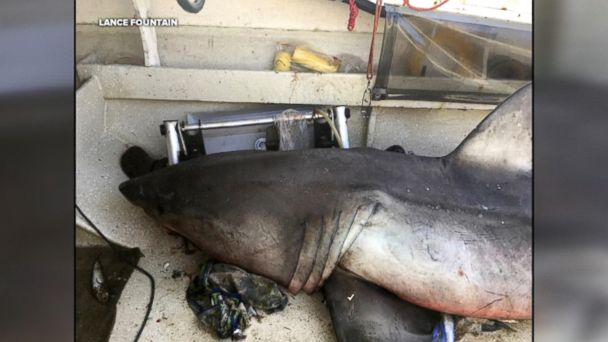 An Australian fisherman survived a close encounter with a 9-foot great white shark after it leaped into his boat on Saturday.